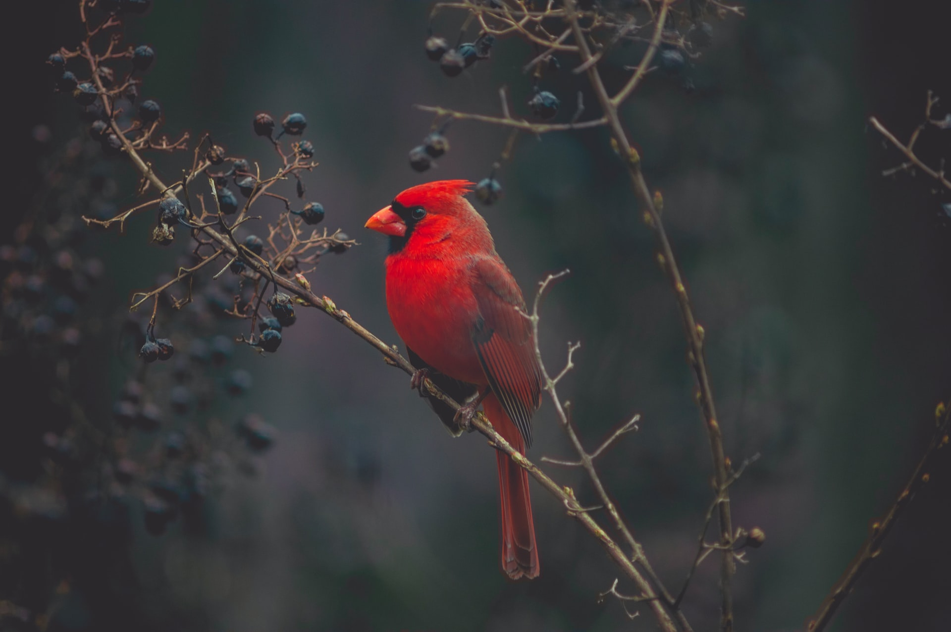 Read more about the article When a Cardinal enters your life